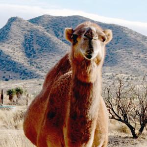 Loren Weaver, DVM - Jasper the camel